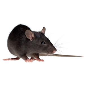 Мышь - это